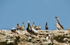 Humbolt Penguins!