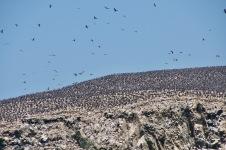 Thousands of Cormorants