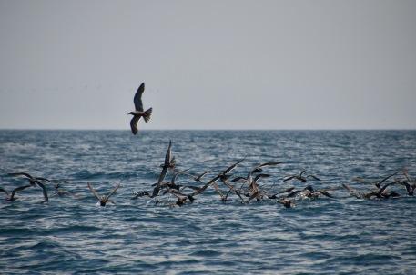 Inca Terns fishing