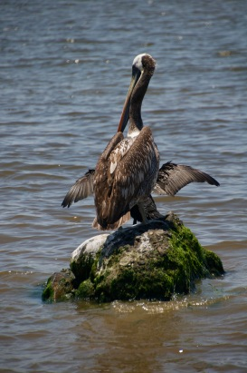 Pelican with the wings of a cormorant