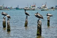 Peruvian Pelicans of the dock