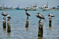 Peruvian Pelicans of the dock