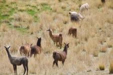 Wild llamas