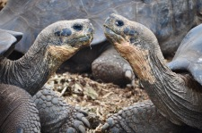 Tortoise kisses