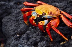 Sally light footed crab