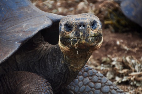 Giant Tortoise headshot