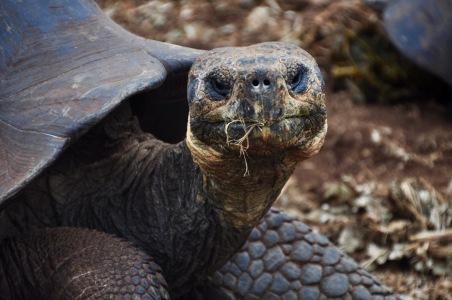 Giant Tortoise headshot