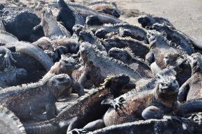 So many iguanas!