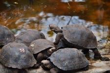 Baby giant tortoises