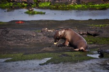Sea lion playing with shells