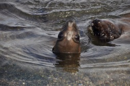 Sea lion keeping watch