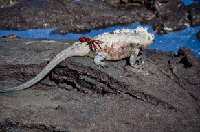 A Crab on top of the Marine Iguana