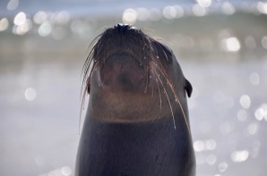 Sea lion's wet whiskers