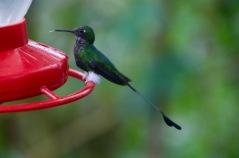 Booted Rackettail Hummingbird