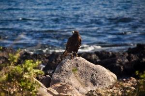 Adult Galapagos Hawk