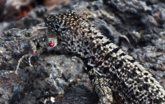 Lava lizard eating a lava lizard