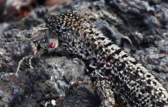 Lava lizard eating a lava lizard
