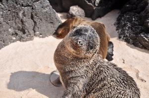 Sandy sea lion