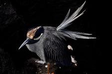 Galapagos yellow crowned night heron
