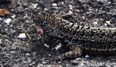 Lava lizard cannibalism