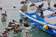 Seals and pelicans waiting for a bite at the Santa Cruz fish market