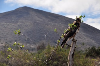Galapagos Hawk in front of the volcano