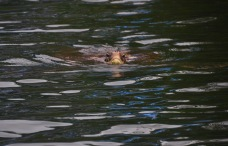 Turtle popping his head out the water to breath