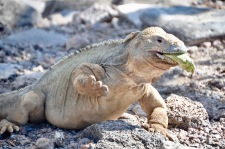 Santa Fe land iguana walking