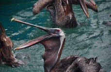 Pelican swallowing a fish