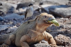 Santa Fe land iguana eating a cactus fruit with a Mocking bird sat on him!