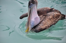 The pelican got a fish!
