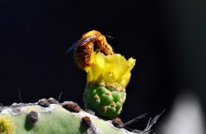 Vibrant cactus flower with Galapagos Carpenter bee