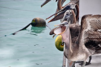 Pelican with a wide open mouth!