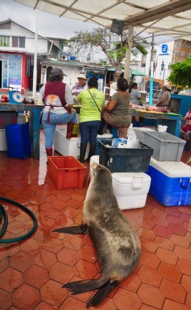 Sea lion waiting behind the fish market ladies