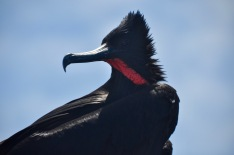 Bad hair day for the male Frigate bird on the boat