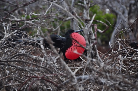 A Male Frigate bird mating call