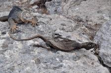 Iguana carcass
