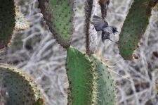 Darwin Cactus Finch