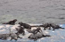 Young marine iguanas