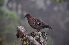 A Galapagos Dove