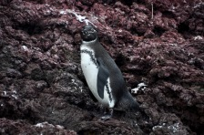 A Galapagos Penguin keeps a close eye on us