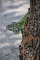 Iguanas of Guayaquil