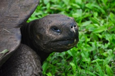 Giant tortoise closeup