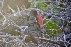 Frigate birds in mating
