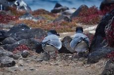 Lava gulls