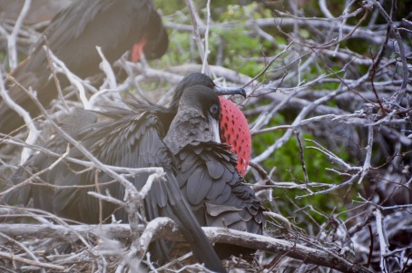 Male frigate bird with his arm around his partner