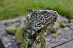 Close up of one wild iguana