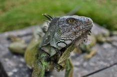 Close up of one wild iguana