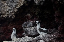 Juvenile blue footed booby's