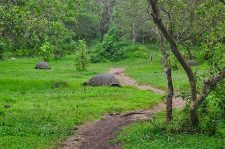 Santa Cruz Giant Tortoises in the wild